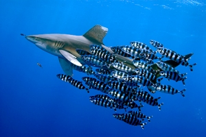Pilot fish feeding off the parasites on a shark. However, not all symbiotic relationships are this beneficial.